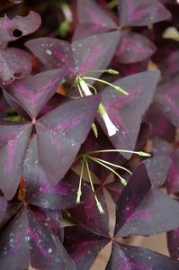 Types de plantes d'intérieur pourpre feuilles