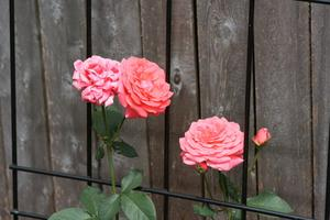 Cultivons l'Information pour John Cabot Roses