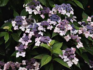 Pourquoi mon hortensia pas encore fleuri - Quand faut il couper les fleurs fanees des hortensias ...