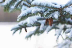 Comment Propager Spruce arbres à partir de graines
