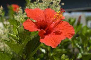 Quelle plante est très similaire à l'Hibiscus?