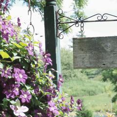 Types de vignes à fleurs pourpres