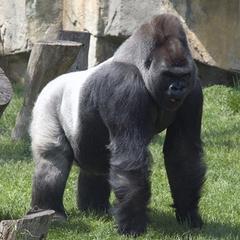 Faits sur Silverback gorilles