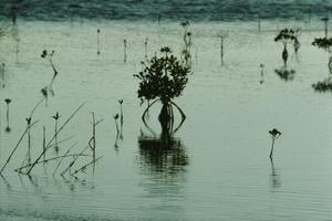Comment cultiver des mangroves à partir de graines