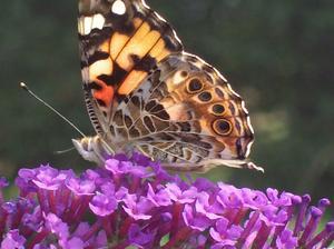 Qu'est-ce que les oeufs de papillons ressemblent?