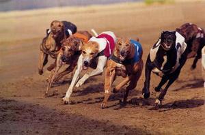 Quelles sont les causes de taches sombres sur Greyhounds?