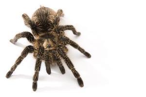 Comment former un Tarantula