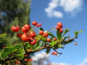 L'identification des feuilles d'une plante ou Bush Berry