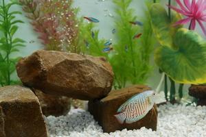 Maladies de Tetra poissons dans les aquariums