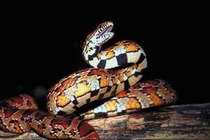 Damiers serpents dans le Tennessee