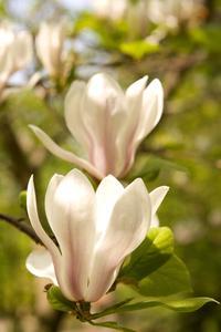 Les types de sols pour magnolia