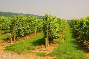Comment dois-je commencer un vignoble raisin ou Fruit Orchard?