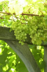 Comment découper une Grape Arbor
