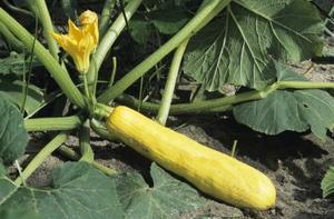 La pollinisation manuelle des plants de légumes