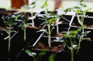 Plant de tomate traitement de rouille