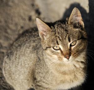 Informations sur metcam pour les chats