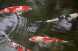 Comment construire un étang à poissons de basse-cour
