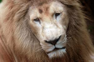 Comment peindre un visage Lion pour Halloween