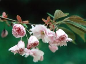 Arbres doubles subhirtella Retombant Période de floraison