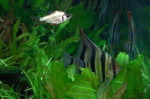Comment planter Plantes aquarium d'eau douce