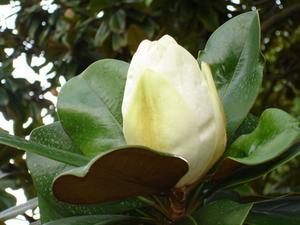 Qu'est-ce qu'un arbre Magnolia hybride qui ne perd pas Feuilles?