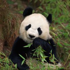 Faits sur menacées d'extinction Pandas