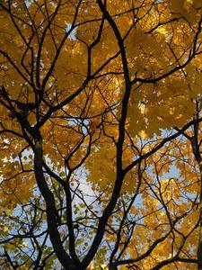 Comment tailler les arbres d'érable