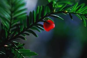 Graines Yew Tree