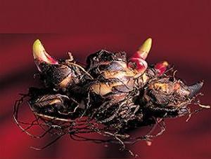Quand planter canna ampoules - Quand planter bulbes tulipes ...