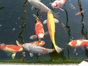 Pourquoi My Black Pond Fish tourne Couleurs?