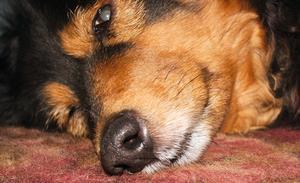Atopica traitement pour les chiens souffrant de fistules périanales