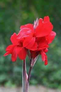 Les variétés rouges Canna