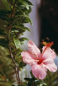 Comment espalier un Hibiscus