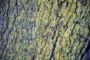 Comment traiter la moisissure verte d'érables matures