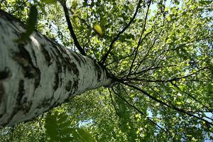 Weeping arbres à feuilles caduques