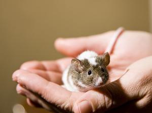 Comment se débarrasser des souris dans le plafond