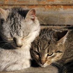 Substituts pour Feliway pour les chats