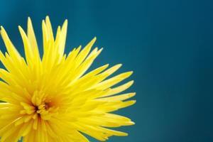 Comment planter chrysanthème Seeds