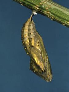 Les chenilles qui se transforment en cocons